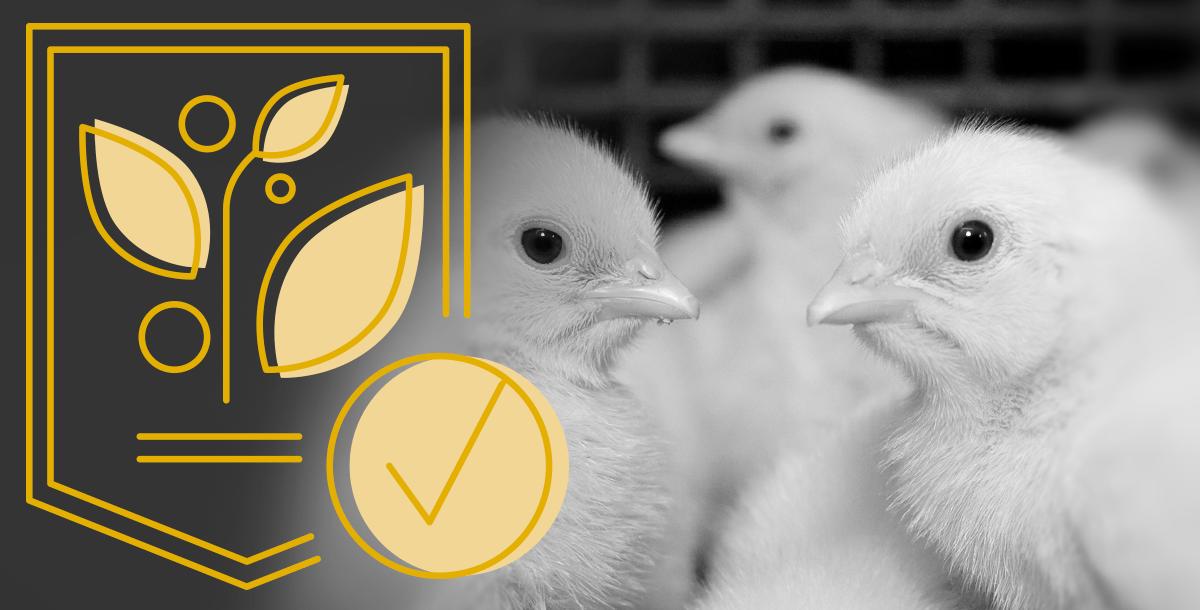 Patent Chicken1